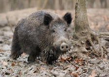 Wild boar. In autumn forest blurred background Stock Photography