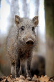 Wild boar. In autumn forest blurred background Royalty Free Stock Image