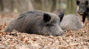 Wild boar. In autumn forest blurred background Stock Image