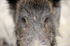 Wild boar. In autumn forest close-up Stock Photo