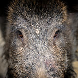 Wild boar. In autumn forest close up Stock Image