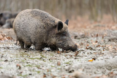 Wild boar in autumn forest. Close wild young boar in autumn forest Royalty Free Stock Photography