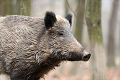 Wild boar in autumn forest. Close wild young boar in autumn forest Royalty Free Stock Image