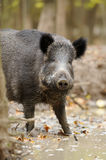 Wild boar in autumn forest. Close wild young boar in autumn forest Stock Photo