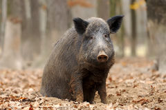 Wild boar in autumn forest. Close wild young boar in autumn forest Stock Image
