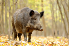 Wild boar in autumn forest. Close wild young boar in autumn forest Stock Photos