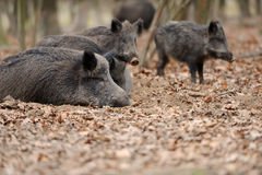 Wild boar in autumn forest. Close wild young boar in autumn forest Stock Images