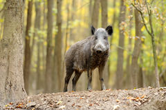 Wild boar in autumn forest. Close wild young boar in autumn forest Royalty Free Stock Images