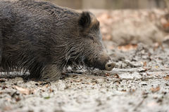 Wild boar in autumn forest. Close wild young boar in autumn forest Royalty Free Stock Photos
