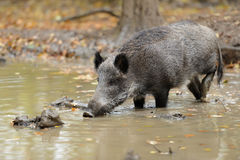 Wild boar. In autumn forest. Boar in dirt Stock Images
