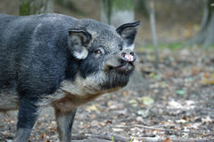 Wild boar in autumn forest Royalty Free Stock Photo