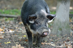 Wild boar in autumn forest Royalty Free Stock Photos