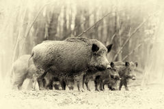 Wild boar in autumn forest. Vintage effect. Close wild boar in autumn forest. Vintage effect Stock Image