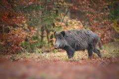 Wild boar in autumn Royalty Free Stock Photo