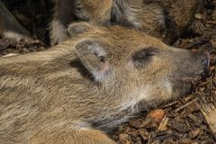 Wild boar babies. Wild boar taking a nap Stock Photo