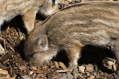 Wild boar babies. Young wild boars looking for food Stock Images