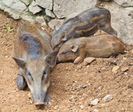 Wild boar baby and its mom Royalty Free Stock Photos