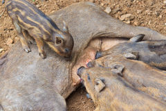 Wild boar baby and its mom Stock Photos