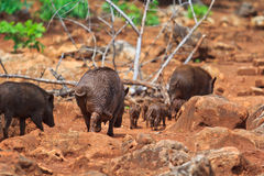 Wild boar baby and its mom Stock Images