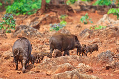 Wild boar baby and its mom Stock Photo