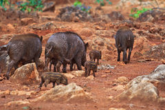Wild boar baby and its mom Royalty Free Stock Photography