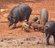 Wild boar baby and its mom Royalty Free Stock Images
