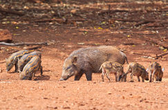Wild boar baby and its mom Stock Photography