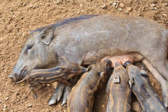 Wild boar baby and its mom Stock Image