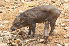 Wild boar baby Royalty Free Stock Photo