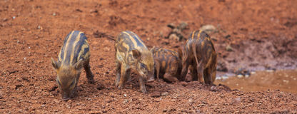Wild boar baby Royalty Free Stock Image