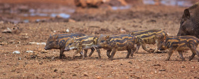 Wild boar baby Stock Images