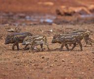 Wild boar baby Stock Photos