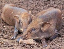 Wild boar baby Stock Image