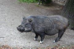wild boar baby stock photo