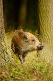 Wild boar baby in yellow grass sniffing between tree trunks Stock Photo