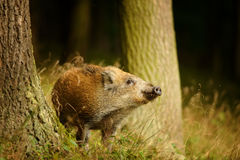 Wild boar baby in yellow grass sniffing between tree trunks Stock Photography