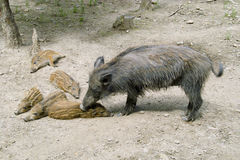 Wild boar with the babys Stock Images