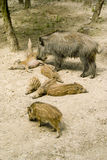 Wild boar with the babys Stock Photo