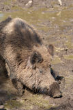 Wild boar bathing in mud Stock Image