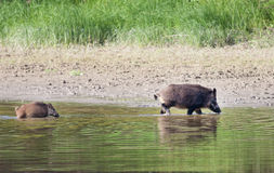 Wild boar bathing Royalty Free Stock Photos