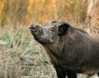 Wild boar. With big eyeteeth Royalty Free Stock Photo