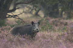 Wild boar in blooming heather Stock Photos