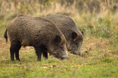 Wild boar brothers Stock Images