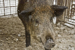 Wild boar in a cage. Close up of a wild boar in a cage Stock Images