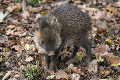 A wild boar calf Stock Images