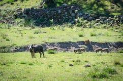 Wild boar with calves Stock Photo