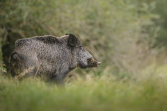 Wild boar cautious. A cautious wild boar leaves the safety of the forest Royalty Free Stock Photos
