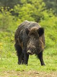 Wild boar on a clearing Stock Photo