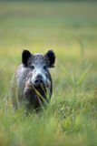 Wild boar in a clearing Royalty Free Stock Photography