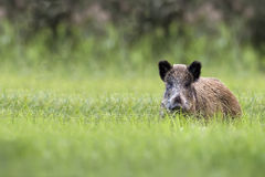 Wild boar in a clearing Royalty Free Stock Photos